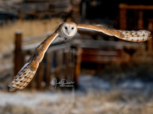 Barn Owl Incoming