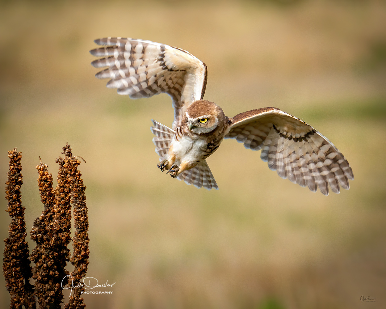Coming in for a Landing, burrowing owl, owl