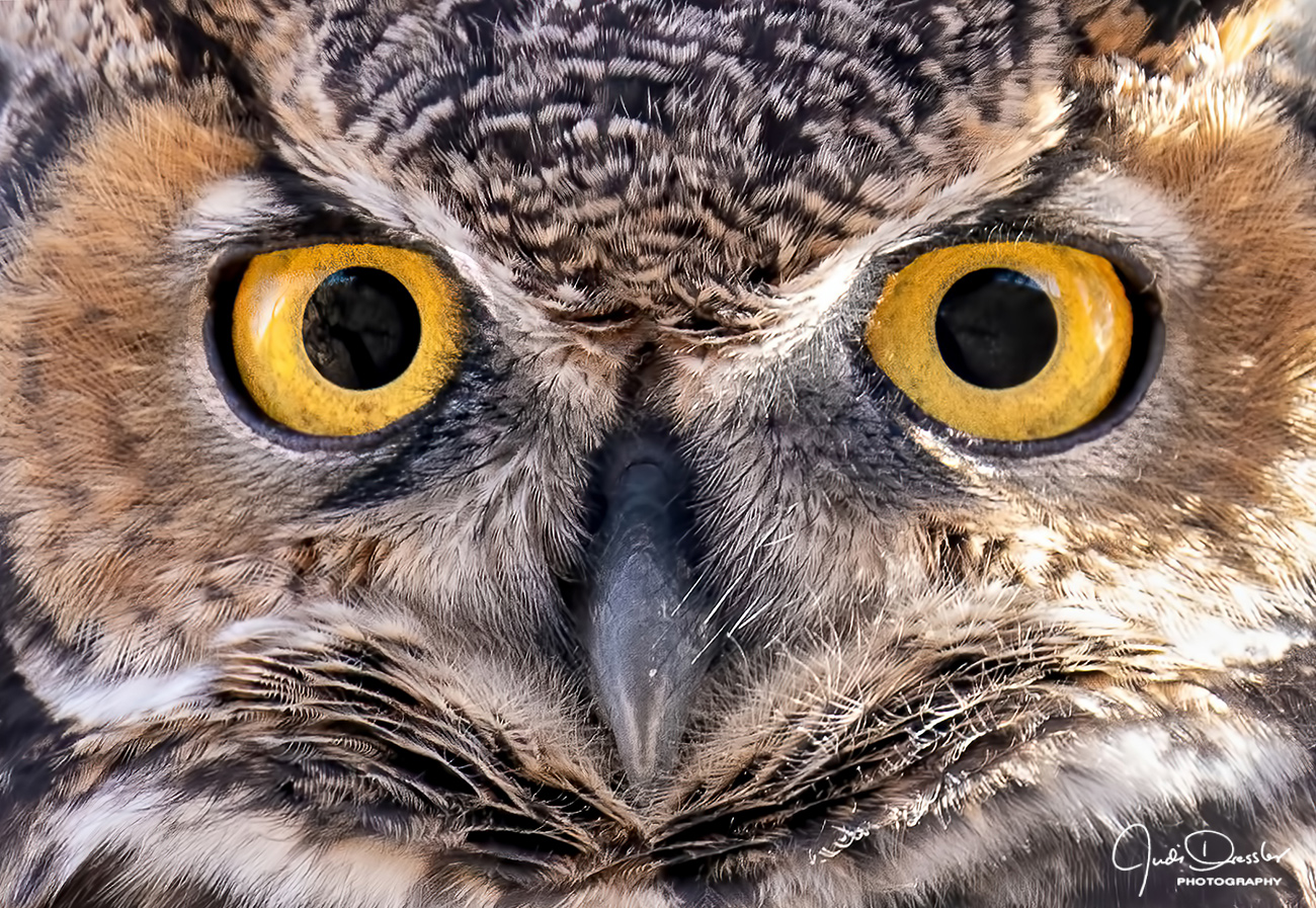 I'm looking at you, great horned owl