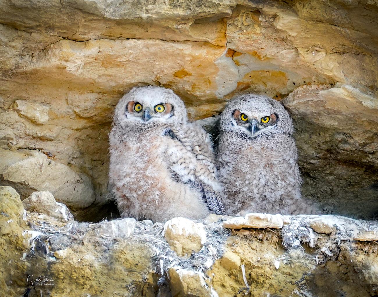 Great Horned Owl Cliff Nest